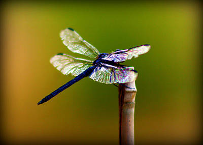 Dragon Photograph - Dragonfly by Susie Weaver