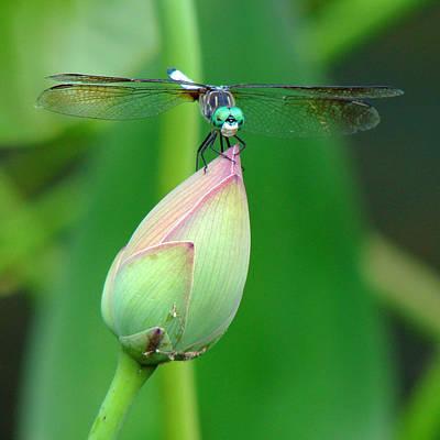 Photograph - Dragonfly Va 1 by Diana Douglass