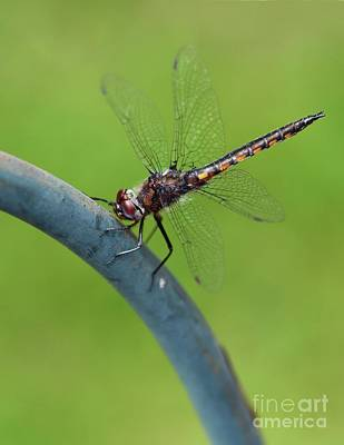 Photograph - Dragonfly Visitor by Cindy Manero