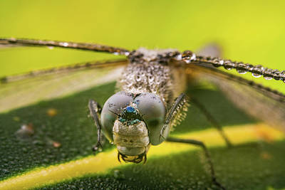 Photograph - Dragonfly Wiping Its Eyes by William Lee