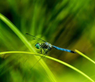 Dragonfly With A Strong Tailwind Print by Douglas Barnett