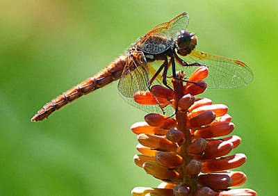 Dragonfly Photograph - Dragongly by Lynn Colwell
