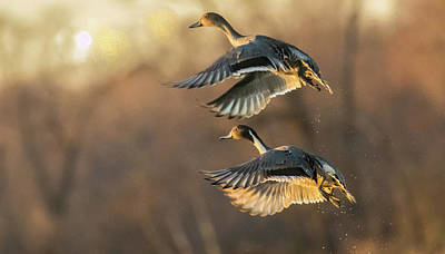Photograph - Drake And Hen Pintail  by Kelly Marquardt
