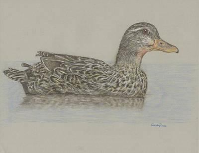 Drawing - Drake Duck by Cynthia  Lanka