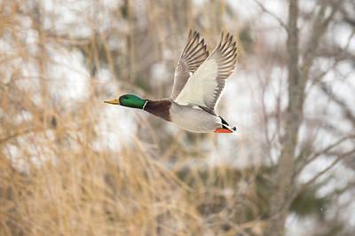 Photograph - Drake Mallard In Flight by Penny Meyers