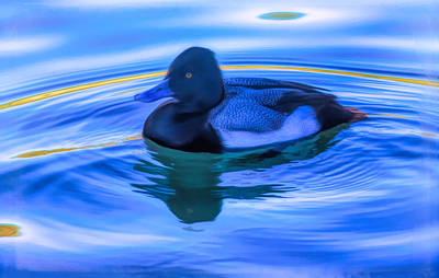 Photograph - Drake On Blue by Susan Crossman Buscho