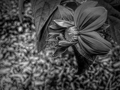 Photograph - Dramatic Black And White Mexican Sunflower In Mid Bloom by Aimee L Maher Photography and Art Visit ALMGallerydotcom