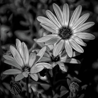 Photograph - Dramatic Black And White Orange Daisy by Aimee L Maher Photography and Art Visit ALMGallerydotcom