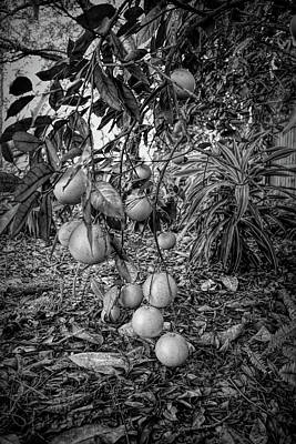 Photograph - Dramatic Black And White Orange Tree by Aimee L Maher Photography and Art Visit ALMGallerydotcom