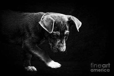 Photograph - Dramatic Black And White Puppy Dog by Edward Fielding