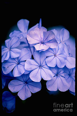 Photograph - Dramatic Blue Plumbago by Carol Groenen