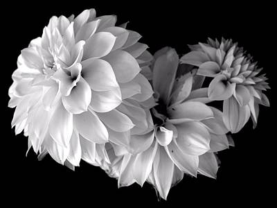 Photograph - Dramatic Dahlias by Marianne Dow