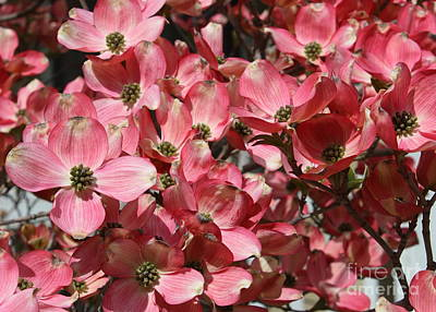 Spring Blossoms Photograph - Dramatic Dogwood Flowers by Carol Groenen