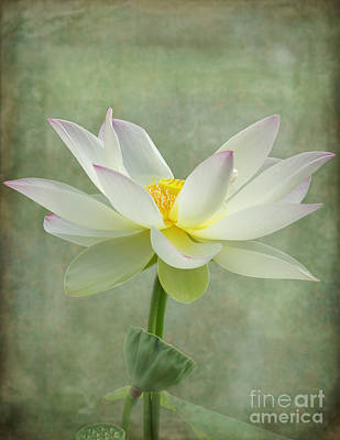 Photograph - Dramatic Lotus  by Sabrina L Ryan