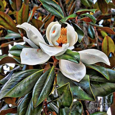 Photograph - Dramatic Magnolia Grandiflora by Carol Groenen