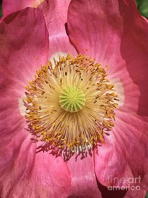 Photograph - Dramatic Pink Poppy Macro  by Carol Groenen