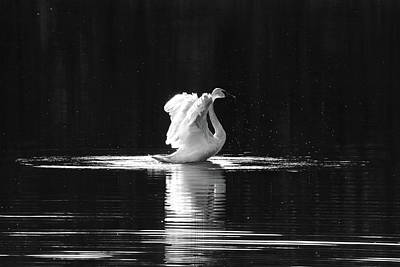 Photograph - Dramatic Swan by Penny Meyers