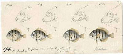 Drawing Of Fish Observed In The Hawaiian Islands Art Print