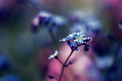 Dream - Forget-me-not - Flower Art Print by Kristopher Winter