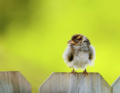 Baby Bird Photograph - Dream Sparrow by Betty LaRue