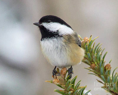 Photograph - Dreaming Chickadee by Lloyd Alexander