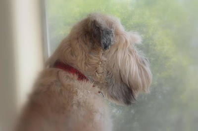 Soft Coated Wheaten Terrier Photograph - Dreaming by Linda Larson