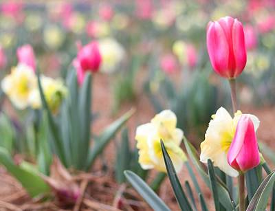 Photograph - Dreaming Of A Bed Of Tulips by Carol Montoya