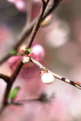 Photograph - Dreaming Of Cherry Buds  by Carol Montoya