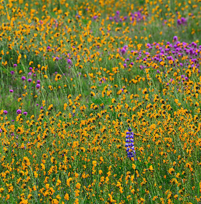Fiddleneck Photograph - Dreaming Of Monet by Kathy Yates