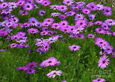 Florals Royalty-Free and Rights-Managed Images - Dreaming of Purple Daisies  by Carol Groenen