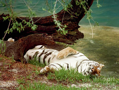 Photograph - Dreaming - Tiger by D Hackett