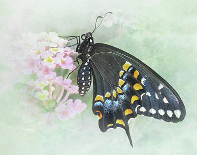 Photograph - Dreams Of A Black Swallowtail Butterfly by David and Carol Kelly