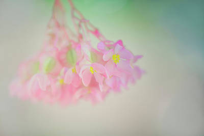 Photograph - Dreamy Angel Wing  Begonia by Susan Gary