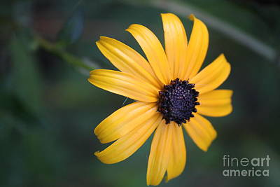 Photograph - Dreamy Black Eyed Susan 	 by Jennifer E Doll