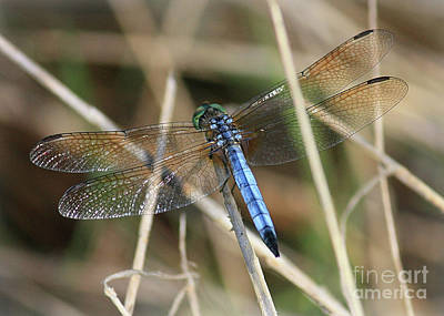 Photograph - Dreamy Blue Dragonfly by Carol Groenen