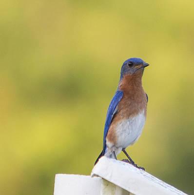Starkey Photograph - Dreamy Bluebird by Sigurd Olsen
