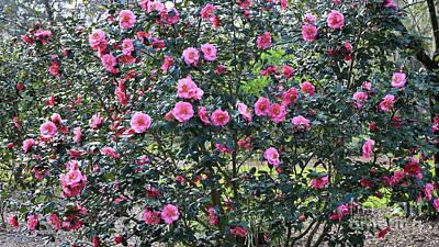Dreamy Camellia Tree Art Print by Carol Groenen