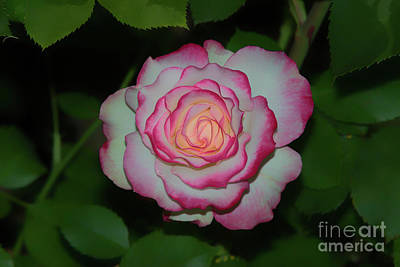 Photograph - Dreamy Cherry Parfait Rose by Glenn Franco Simmons