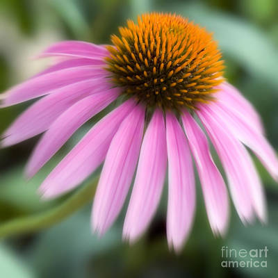 Dreamy Coneflower Art Print by Jeannie Burleson