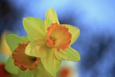 Photograph - Dreamy Daffodils by Lynn Hopwood