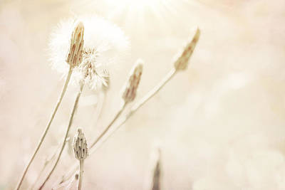 Photograph - Dreamy Dandelion by Bonnie Bruno