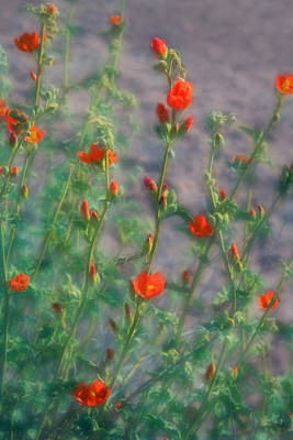 Photograph - Dreamy Desert Mallow Blooms by Bonnie Follett