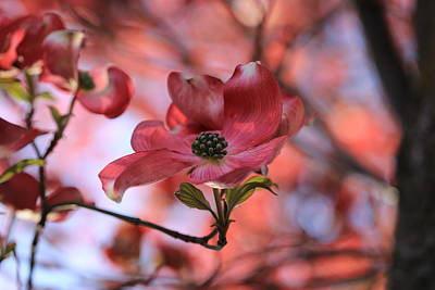 Photograph - Dreamy Dogwood by Lynn Hopwood