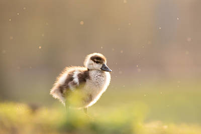 Cute Bird Photograph - Dreamy Duckling by Roeselien Raimond