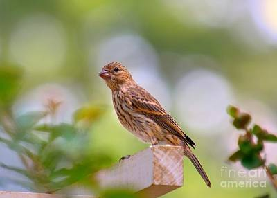 Photograph - Dreamy Finch by Lisa L Silva