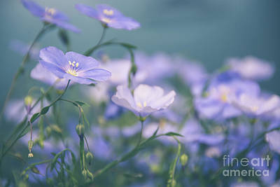 Photograph - Dreamy Flax Flowers by Cheryl Baxter
