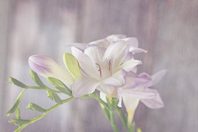 Photograph - Dreamy Freesia by Kim Hojnacki