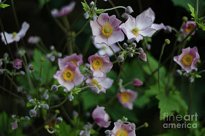Photograph - Dreamy Japanese Anemone by Perry Rodriguez