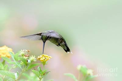 Photograph - Dreamy Little Hummer by Debbie Green