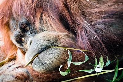 Photograph - Dreamy Orangutan by Robin Zygelman